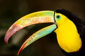stock photo of toucan  - A close up of a Keel - JPG