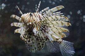 foto of butterfly fish  - Focus the Lionfish and dangerous fish in the sea - JPG