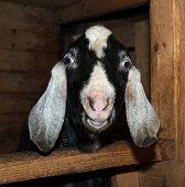 foto of nubian  - Nubian black and white goat male in barn - JPG