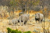 stock photo of calves  - 2 Adult black rhinos and a calf standing in the bush in Etosha national park - JPG