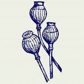 picture of opiate  - Opium poppyhead - JPG