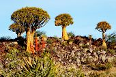 picture of aloe-vera  - Quiver Tree Forest in Rocky Desert - JPG