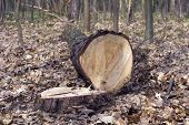 picture of sequoia-trees  - felled tree trunk and stump in the woods - JPG