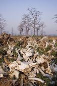 stock photo of cow skeleton  - a pile of bones of dead cows eaten by vultures - JPG