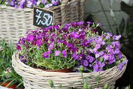 stock photo of lobelia  - violet and pink lobelia erinus in wicker basket - JPG