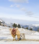 stock photo of hump day  - camel at top of mountain in snow winter day - JPG
