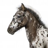 foto of appaloosa  - Crossbreed Foal between a Appaloosa and a Friesian horse 3 months old standing in front of white background - JPG
