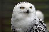 pic of snowy owl  - photo of a tawney owl looking just off to the side of the camera - JPG