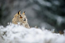 picture of snow owl  - Eurasian Eagle Owl sitting on the ground with snow in winter time - JPG