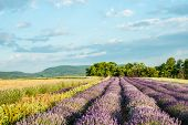 Lavender field in sunlight. Beautiful image of lavender field. Lavender flower field, image for natu poster