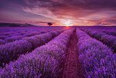 Lavender Fields. Beautiful Image Of Lavender Field. Summer Sunset Landscape, Contrasting Colors. Dar poster