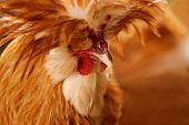 stock photo of fighting-rooster  - A portrait of an exotic breed rooster - JPG