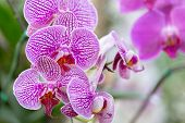 Orchid Flower. Phalaenopsis Orchid. Flower In Garden At Sunny Summer Or Spring Day. Flower For Postc poster