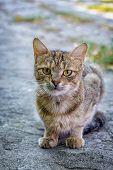 European Cat Portrait. Portrait Of Beautiful Cat. Cute Three Color Cat. European Short Haired Cat. poster