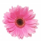 picture of gerbera daisy  - Pink gerbera daisy isolated on a white background - JPG