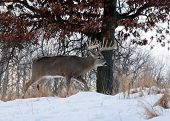 pic of deer family  - Trophy whitetail deer buck walking along hillside - JPG