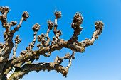 stock photo of circumcision  - the first of a heavily pruned tree in winter - JPG