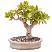 Money Tree (crassula Ovata) As Bonsai