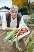 Senior man in kitchen garden picking vegetables
