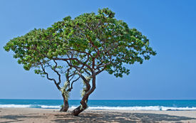 stock photo of heliotrope  - These two heliotrope trees  - JPG
