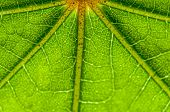 Leaf Pattern Green Veins Backlit Fresh Close Up