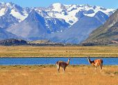 Patagonia. Harmonious landscape - yellow field, blue lake and snow-capped mountains. In the foregrou
