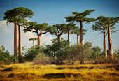 stock photo of dry grass  - Baobab trees on a dry land at sunny day - JPG