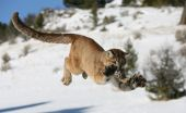 stock photo of mountain lion  - Mountain Lion Jumping in snow covered field - JPG