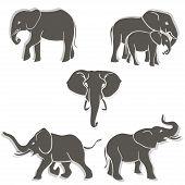 pic of elephant ear  - Set of black - JPG
