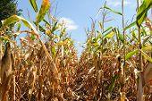 pic of zea  - Ripe corn plant with corncob is growing - JPG