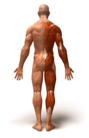 picture of human muscle  - Fun 3D generated illustration of muscles and anatomy - JPG