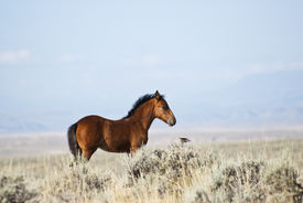 stock photo of open grazing area  - free roaming mustangs on the McCullough Peak Wild Horse Management Area in Wyoming - JPG