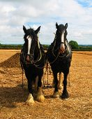 stock photo of shire horse  - a pair of shire horses at a ploughing match in pembrokeshire - JPG