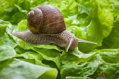 picture of garden snail  - Slug in the garden eating a lettuce leaf. Snail invasion in the garden