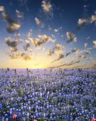 picture of bluebonnets  - Bluebonnets covering a rural central Texas field - JPG