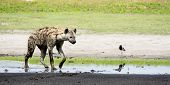 pic of hyenas  - Hyena in Shallow Water - JPG