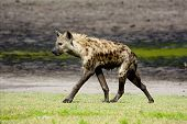 stock photo of hyenas  - Hyena Walking on Liuwa Plains - JPG