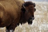 foto of tallgrass  - A bison looks back while standing on a stretch of snowy prairie - JPG