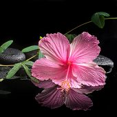picture of tendril  - spa concept of blooming pink hibiscus and green tendril passionflower on zen stones with drops reflection in water closeup  - JPG