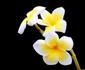 foto of night-blooming  - Close up image of Frangipani at night - JPG