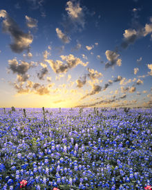 stock photo of bluebonnets  - Bluebonnets covering a rural central Texas field - JPG