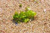 foto of algae  - seaweed on a beach sand algae Closeup Algae - JPG