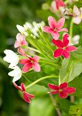 stock photo of creeper  - Close up of Chinese honey Suckle or Rangoon Creeper flowers - JPG