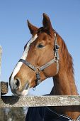 image of thoroughbred  - Headshot of a thoroughbred horse in winter pinfold - JPG