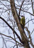 pic of woodpecker  - Green Woodpecker in tree spotted in Sofia Bulgaria  - JPG