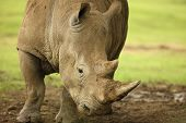 picture of rhino  - Close up of a White Rhino showing head and horns - JPG