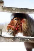 image of pony  - Head shot of a beautiful pony horse on a beautiful sunny day winter time - JPG