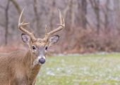 foto of deer rack  - Whitetail Deer Buck standing in an open field. ** Note: Visible grain at 100%, best at smaller sizes - JPG