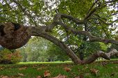 stock photo of oddities  - Burl on a tree Freak of nature  - JPG