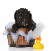 stock photo of washtub  - dog bath  - JPG
